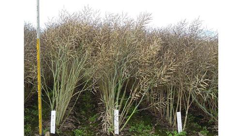 ダブルローナタネ新品種「ペノカのしずく」を育成 農研機構