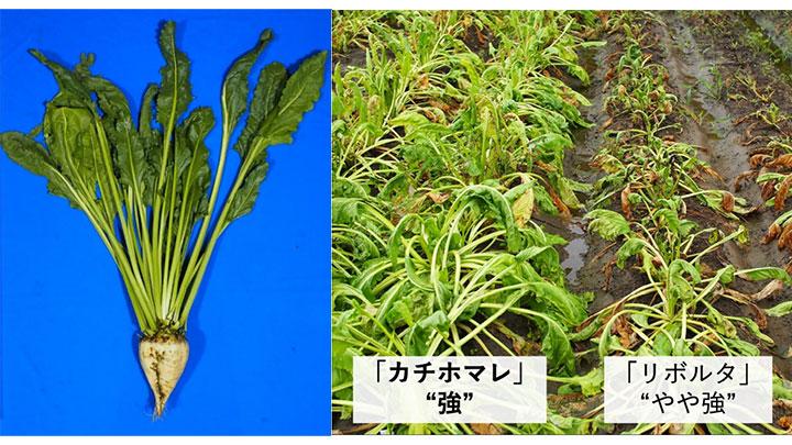 新品種「カチホマレ」の外観(左)、黒根病激発条件での地上部生育(2016年)