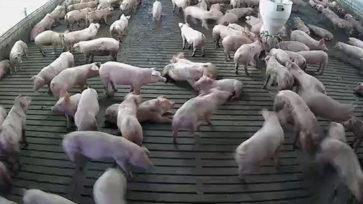 菊池市の実証でIoTカメラで撮影した豚舎内の様子(日中)