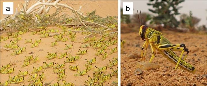 砂漠を集団移動中のサバクトビバッタの幼虫(a)  高温時は太陽に顔を向け、太陽光に当たる体表面積を小さくし、背伸びをして熱い地表から体を離す「背伸び行動」(b)