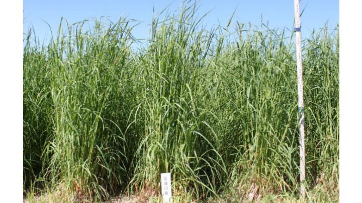 オーチャードグラス「えさじまん」の草型(2013年6月12日撮影、農研機構北農研)