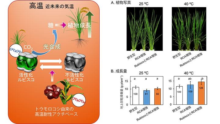 地球温暖化に適応 イネの生産性25%アップに成功