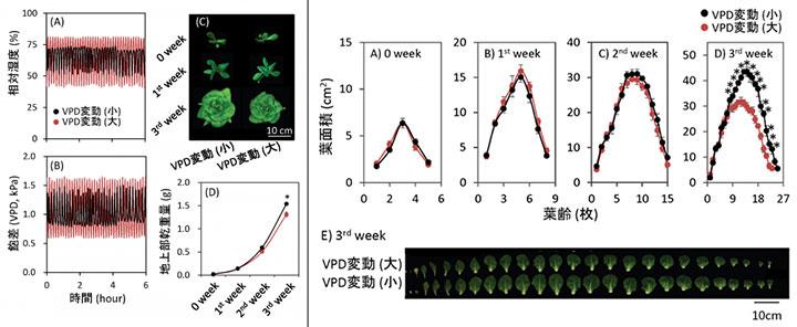 図1:VPD変動の程度がレタスの成長に及ぼす影響(左)  図2: VPD変動の程度がレタスの成長パラメータに及ぼす影響(右)