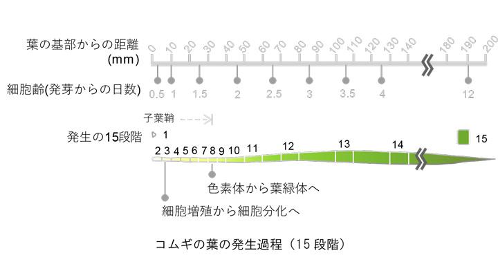 コムギの光合成 2段階の葉緑体発生過程を経て成立 遺伝子発現マップ作成 理研など共同研究
