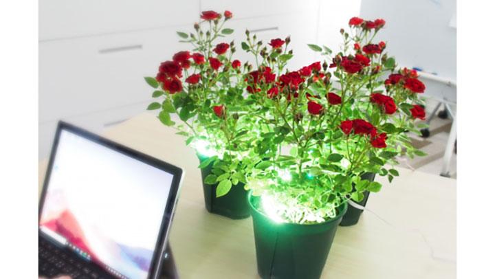 室内の鉢植えバラを美しく保つには?「上方照射法」に効果 東京大学