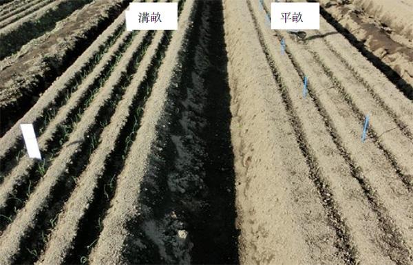 溝畝播種の初期生育の促進例