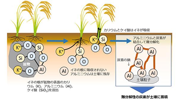 カリウムの施肥量を抑えた水稲栽培 土壌中の難分解性炭素を蓄積 農研機構