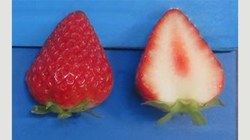 四季成り性のイチゴ新品種「夏のしずく」育成 端境期の夏秋期に生産可能 農研機構