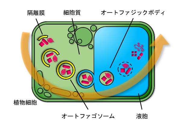 植物細胞におけるオートファジーの過程