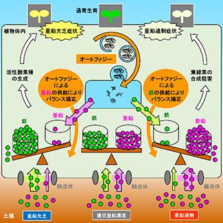 オートファジーによる細胞内「亜鉛―鉄シーソー」の管理