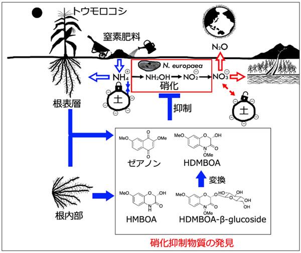 予想されるトウモロコシの生物的硝化抑制(BNI)のメカニズム