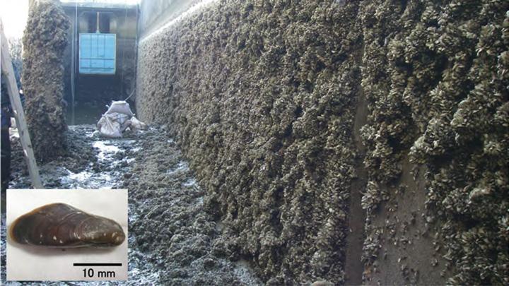 水利施設に大量発生したカワヒバリガイ