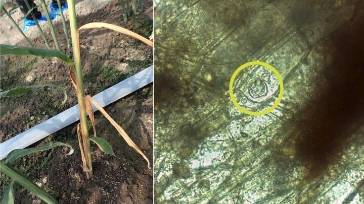 ショウガ根茎腐敗病 北海道で新たに発生 北海道病害虫防除所