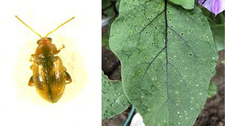 タバコノミハムシの成虫とタバコノミハムシによる被害葉(写真提供:富山県農林水産総合技術センター)
