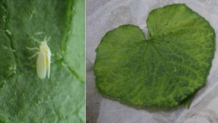 タバココナジラミ成虫(左)、退緑黄化病の被害葉(提供:大阪府立環境農林水産総合研究所)