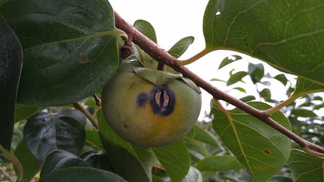 果実の病斑(写真提供:岐阜県病害虫防除所)