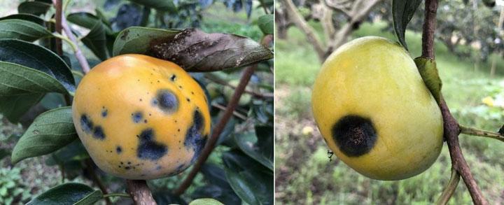 果実の病斑・鮭肉色の分生子を有した果実(写真提供:香川県農業試験場病害虫防除所)