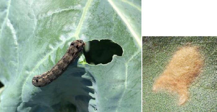 ハスモンヨトウの幼虫と卵塊(写真提供:鳥取県病害虫防除所)