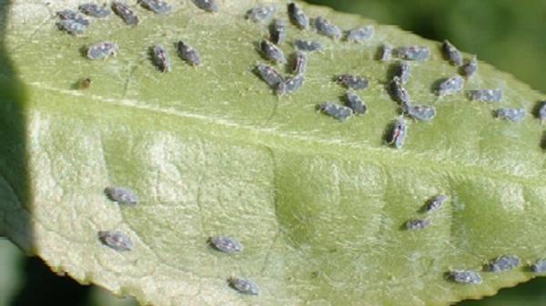 新芽に集合する成虫(写真提供:沖縄県植物防疫協会 安田慶次氏)