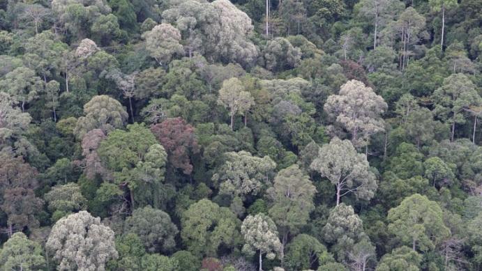 フタバガキ科樹木が優占する東南アジア熱帯雨林