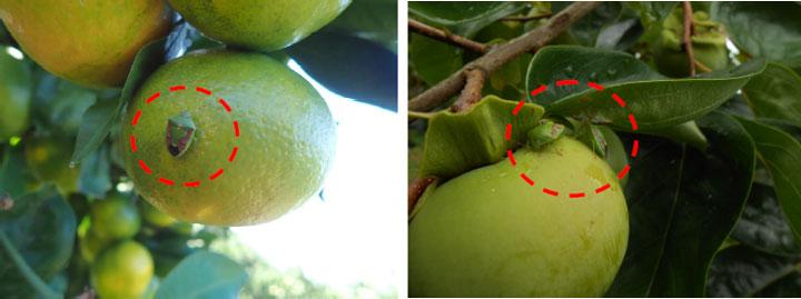 チャバネアオカメムシのかんきつへの加害(左)、 かきへの加害(写真提供:愛媛県病害虫防除所)