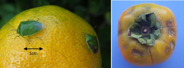 ツヤアオカメムシ(左)とチャバネアオカメムシ(左)、カキの被害果実(写真提供:徳島県病害虫防除所)