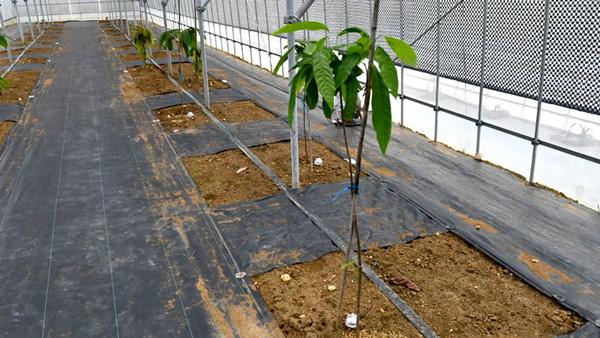 カカオの木とモニタリングセンサ(パニパニファームキャステム)