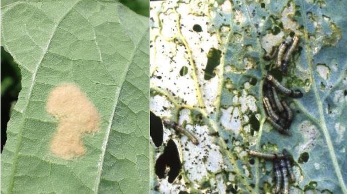 ハスモンヨトウの卵塊(左)と若齢幼虫(写真提供:山口県病害虫防除所)