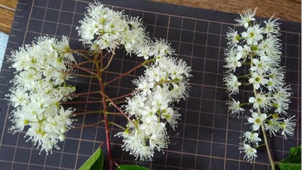 フサザキウワミズザクラ(左)とふつうのウワミズザクラの花序