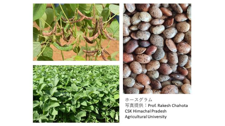 ホースグラム(写真提供:Prof.Rakesh Chahota CSK Himachal Pradesh Agricultual University)