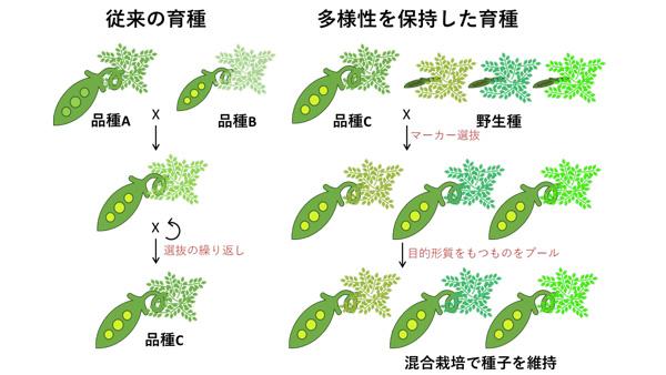 農業生産に適した遺伝子を固定した集団が作成できれば、高い生産性の作物開発につながる