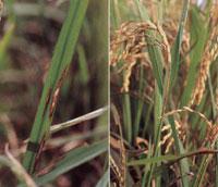 【現場で役立つ農薬の基礎知識 2013】[6]水稲本田の病害防除 適期・的確な病害防除で健全なイネの生育を