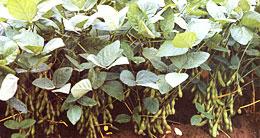 【現場で役立つ農薬の基礎知識 2013】[5]大豆の病害虫防除 病害虫の特性や地域の実態に合わせた効率防除を