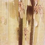 セジロウンカ(成虫と幼虫)