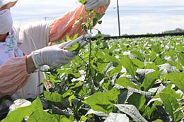 雑草の茎に1〜3カ所、パクパクと塗布処理する