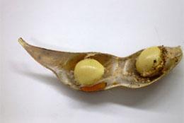 マメシンクイガの幼虫と子実被害