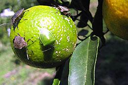 【現場で役立つ農薬の基礎知識 2014】[10]果樹カメムシ類の防除のポイント 地域全体での一斉防除が効果的