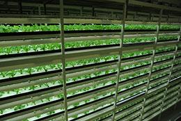 国内最大級の「柏の葉 第2グリーンルーム」。レタス、グリーンリーフなど15種類以上の野菜を1日1万株生産・出荷が可能。