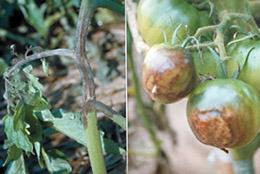 【現場で役立つ農薬の基礎知識 2014】[12]秋冬期に発生する施設栽培トマトの病害虫防除