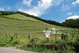 ココ・ファームのブドウ畑の風景