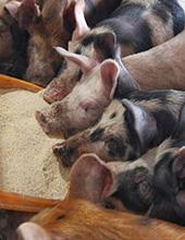 飼料用米配合の餌で育つ平田牧場の「三元豚」