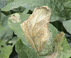 【現場で役立つ農薬の基礎知識 2015】大豆の病害虫防除 適切な薬剤で適期防除