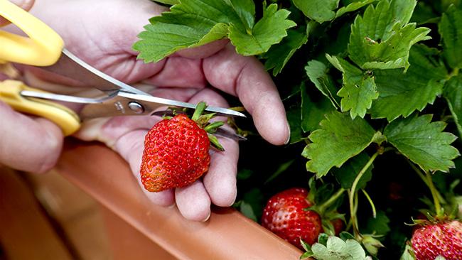 春には自宅でいちご狩りイチゴのプランター栽培を提案 タキイ種苗