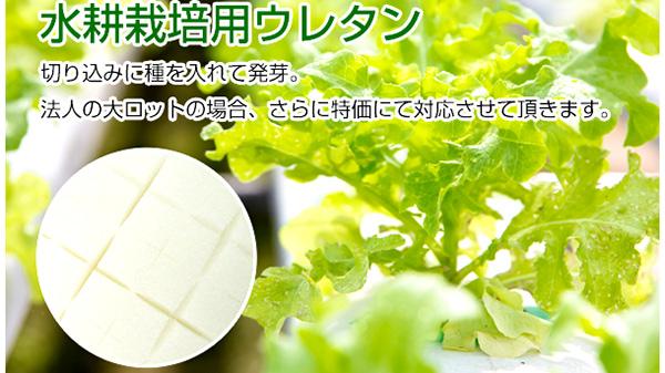 植物工場に最適 くぼみ付「水耕栽培用スポンジ」発売 富士ゴム産業