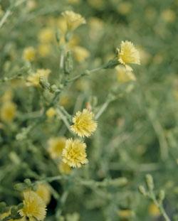 珍しいレタスの花