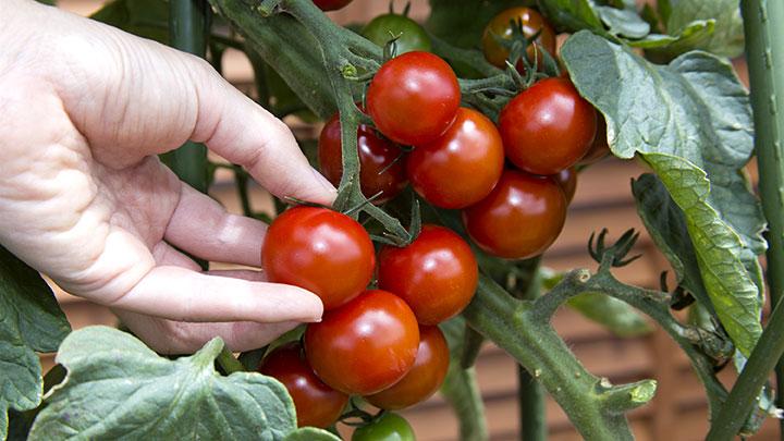 プランター菜園 人気のミニトマト栽培のコツを紹介 タキイ種苗