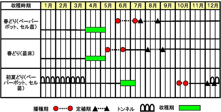 ネギ「初夏扇2号」作型図