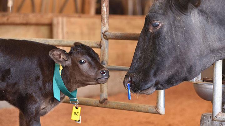 60グラムの小型タグは生まれたその日から仔牛の首にかけて使える