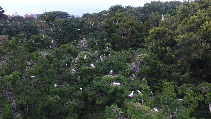 つくば市内の雑木林に白鷺が大量繁殖
