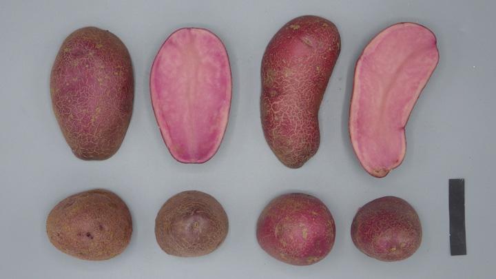 「シャイニールビー」の塊茎。シャイニールビー(左)とノーザンルビー※黒スケールバーは5×1cm